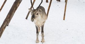 Reindeer-FI